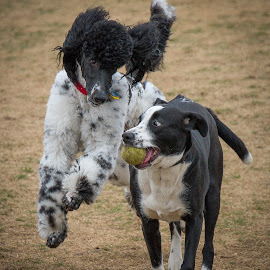 Wanna Play? by Ron Meyers - Animals - Dogs Playing