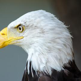 Aguila Calva by Eduardo Menendez Mejia - Animals Birds ( nikkor 55-200, eagle, zoo, calva, aguila, bald, menendez, eduardo, nikon, d5100 )