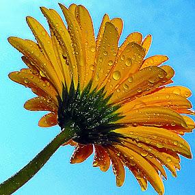 yellow gerber by LADOCKi Elvira - Flowers Single Flower ( nature, 2014, plants, flowers, garden,  )