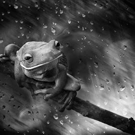 Ready To Jump by Febrianto Tanadi - Animals Amphibians ( macro, frog, black and white, bw, mood )