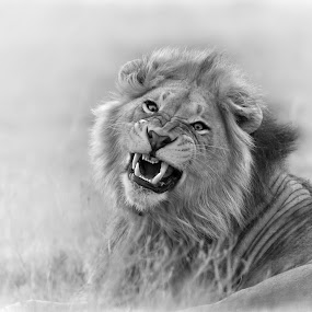 Snarling Lion' by Michael Price - Black & White Animals ( lion, black and white, fine art, wildlife )