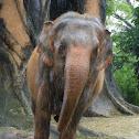 Asian Elephant (female)