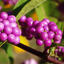 Beauty berry bush~ by Karen McKenzie McAdoo - Nature Up Close Trees & Bushes