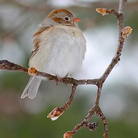 Field Sparrow by Ann Bjerring Ravn Weis - Animals Birds