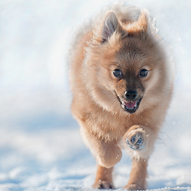 First Run  by Michael  M Sweeney - Animals - Dogs Running ( cool, scotland, play, michael sweeney, fun, nikon dog, run, hugo, epic, d3, snow, pro, puppy, nikon, fast, pomeranian,  )