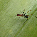 Orange Stilt-legged Fly