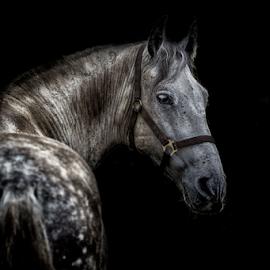 Amapola by Erik Kunddahl - Animals Horses ( equine, riding, horse, nikon, portrait )