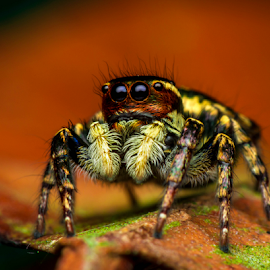 Colored Salticidae by Dave Lerio - Animals Insects & Spiders