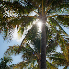 Sunshine Through The Palms by Eddie Green - Nature Up Close Trees & Bushes ( abstract, palm, sky, tree, tropical, sunshine, fronds, looking up, leaves, sun )