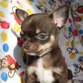 Monkey Business by Suzzette Drake - Animals - Dogs Puppies ( chihuahua (smooth coat), puppy, boy )