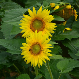 Sunflowers by Brian Shoemaker - Novices Only Flowers & Plants ( nature, bee, sunflower, flower, closeup )