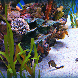 Sea Horse's by Linda Blevins - Landscapes Underwater ( coral, grass, underwater, sea horse )