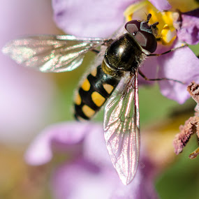 Hoverfly by Diane Flynn - Animals Insects & Spiders ( hoverfly, pollen, bee, fly, adelaide, insect, flower )