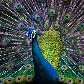 Peacock - Male Peafowl by Venetia Featherstone-Witty - Animals Birds ( colorful birds, blue and green, pavo, portrait of peacock, feathers, birds, macro peacock, peacock, , vertical lines, pwc )