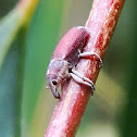 Small eucalyptus stem weevil