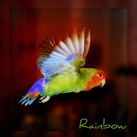 Rainbow the Lovebird by Denise Landrum - Typography Captioned Photos ( bird, lovie fly rainbow animals birds, pet )