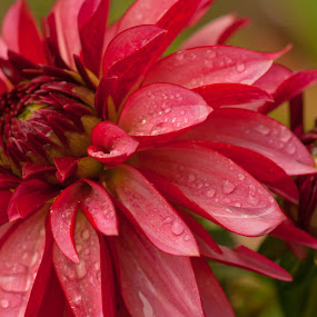 Dahlia In The Rain by Howard Mattix - Flowers Single Flower ( annuals, colorful, dahilas, single flowers, flowers, , red, green )