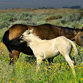 Slap in the face by Gaylord Mink - Animals Horses ( slap, mother, horses, colt, tail )