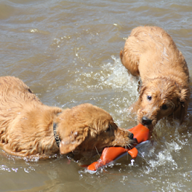 My SHARK, NO MY SHARK! by Ellee Neilands - Animals - Dogs Puppies ( water, play, puppy, siblings, cute, golden retriever )