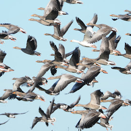 geese in flight by Jonathan Pearce - Novices Only Wildlife ( flight, sky, gaggle, geese, birds )