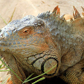 Iguana by Monang Naipospos - Animals Reptiles ( iguana, reptile, animal )