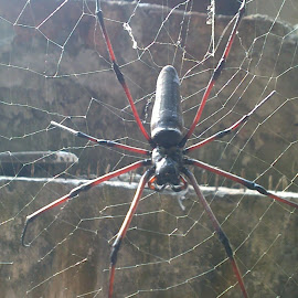 BD spider ..................How Is It look........??? by Faishal Ahmed - Animals Other