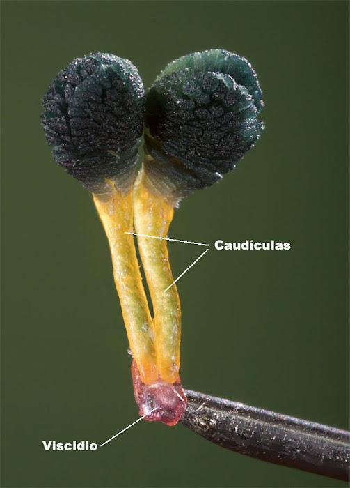 Polinias de Himantoglossum robertianum