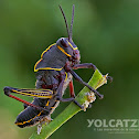 Lubber Grasshopper nymph