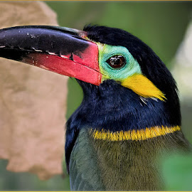 Guianan Toucanet by Renos Hadjikyriacou - Animals Birds ( animals, toucan, birds )