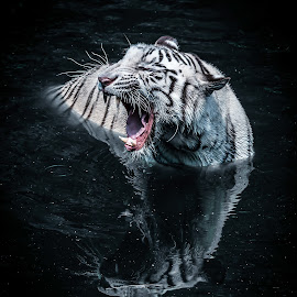 white tiger by Ricky Agvirty - Animals Lions, Tigers & Big Cats