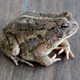 Fowlers Toad by Jeff Thompson - Animals Amphibians (  )