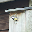 Great tit's leaving the nest