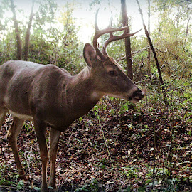 Buck Wild ! by Linda Blevins - Animals Other ( wild, nature, grass, bushes, beauty, woods, deer )