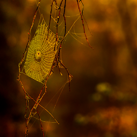 Web in a tree by Peter Samuelsson - Nature Up Close Webs