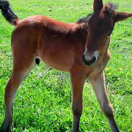 Little Mister by Kimberly Havens-Lott - Animals Horses ( love, colt, gorgeous, mister, boy )