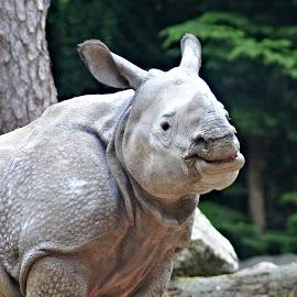 Rhinoceros 4 by Anita Berghoef - Animals Other Mammals ( zoo, nature, rhinoceros, nature up close, rhino, mammal, animal )