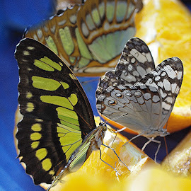 Butterflies  by Jadwiga Dabrowski - Animals Insects & Spiders ( butterfly, butterflies )