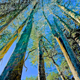 Leading Up by Barbara Brock - Nature Up Close Trees & Bushes ( looking up at trees, canopy of trees, tree bark, tall trees )