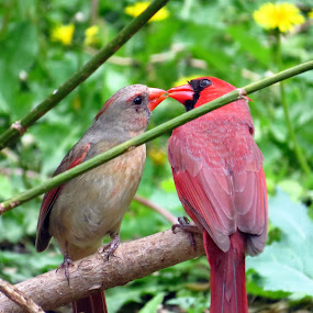 Male Feeding Female Cardinal  by Patti Hobbs - Animals Birds ( animals birds male feeding female cardinal )
