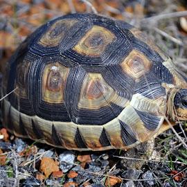 Taking it Slowly by DJ Cockburn - Animals Reptiles ( shell, carapace, chelonian, south africa, west coast national park, slow, westen cape, angulate tortoise, chersina angulata )