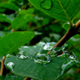Rain drops by Dragan Dvorski - Novices Only Macro ( drops, raindrops, leaves )