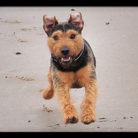 Digsy by Sean Astbury - Animals - Dogs Running