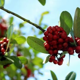 Very Berry by Elfie Back - Nature Up Close Leaves & Grasses ( red, fall colors, bird food, autumn, berries,  )