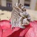 Mariposa taladro de los geranios