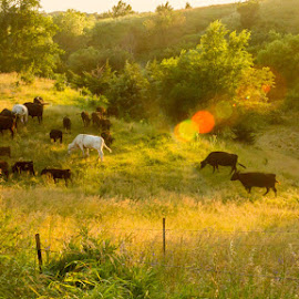 Cattle at Sunset by Shari Brase-Smith - Landscapes Prairies, Meadows & Fields ( farm, sunset, summer, landscape, cattle, lens flare )