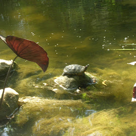 Just Sunning myself by Linda McCormick - Animals Reptiles ( pond turle, warm!, in the pond, turtle, sunning )