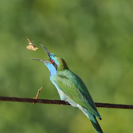 Perfect Catch by J Venkat - Animals Birds ( bird, fly, catch, nikon, bee eater )
