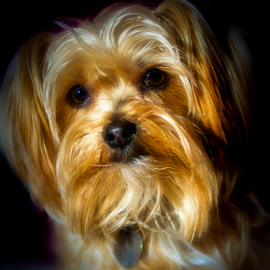 Benji by Roger Bourland - Animals - Dogs Portraits ( pet, cute, dog )