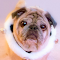portrait of a jingle pug.jpg