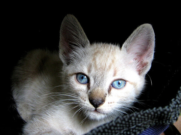 Mixed Siamese Cat. mixed breed